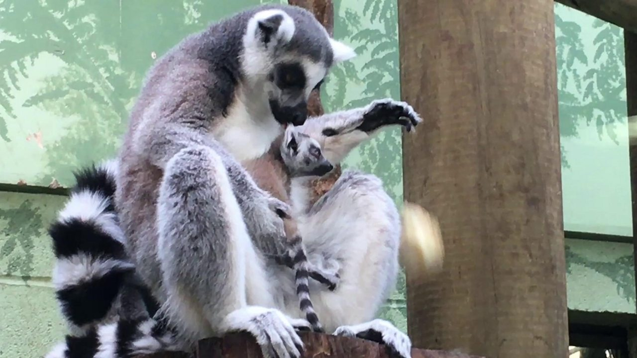 Twin lemurs give birth within days