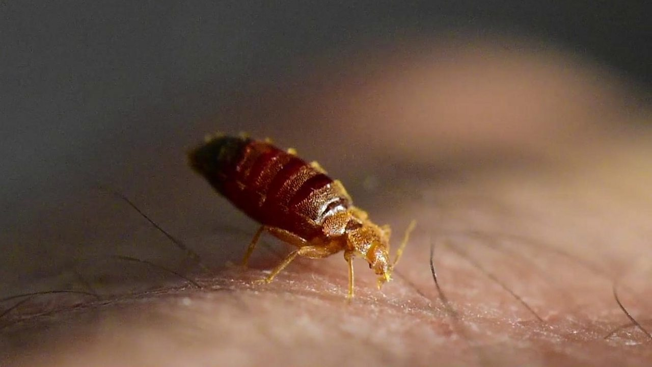 What's it like to be bitten by a bedbug?