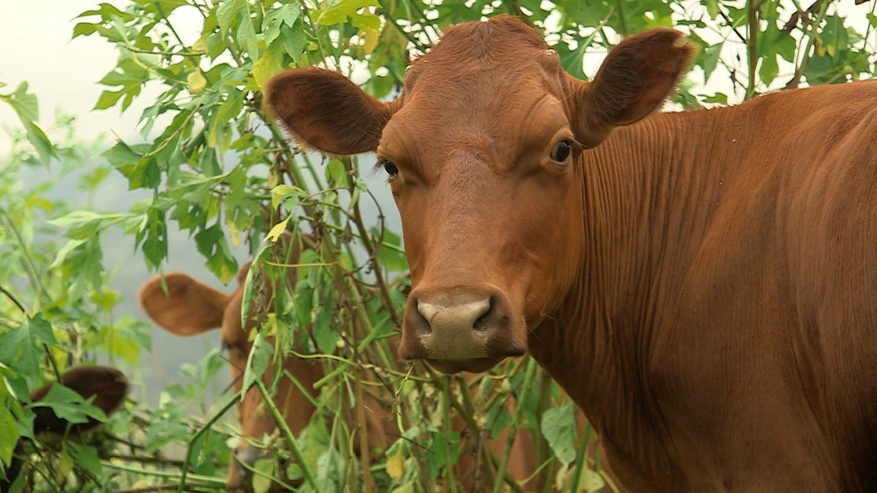 How a new diet for gassy cows is helping the environment