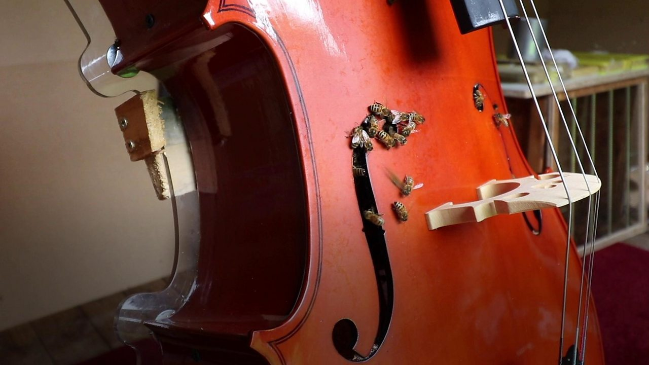 Bees set up hive in cello in West Bridgford garden