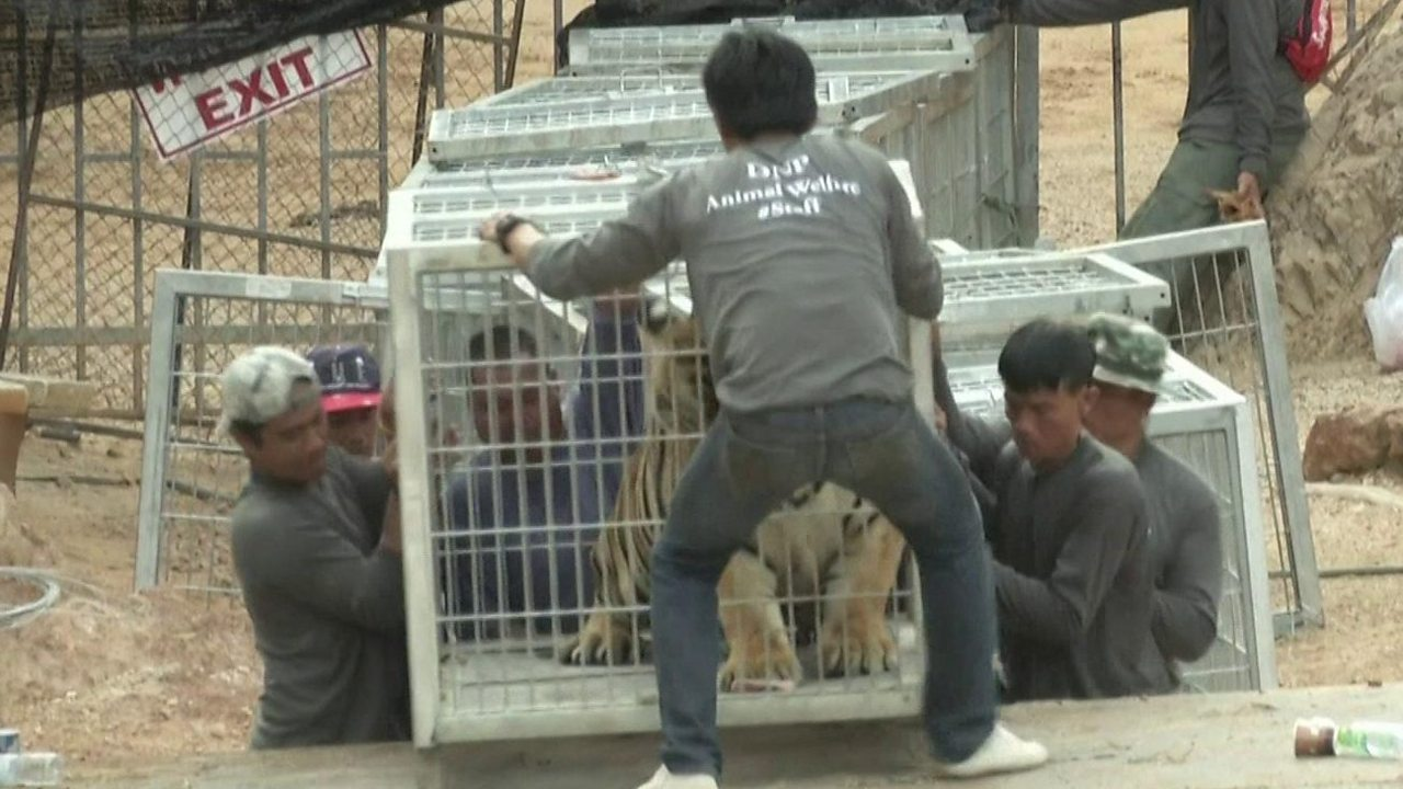 Thailand Tiger Temple: Authorities remove tigers from attraction site