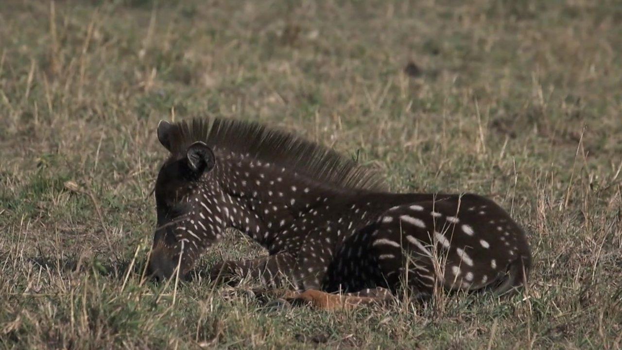 Spotty zebra in Kenya Maasai Mara reserve