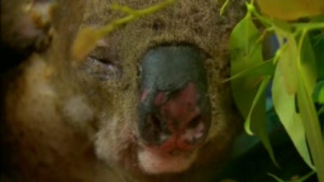 Australia fires: Injured koala reunited with bushfire rescuer