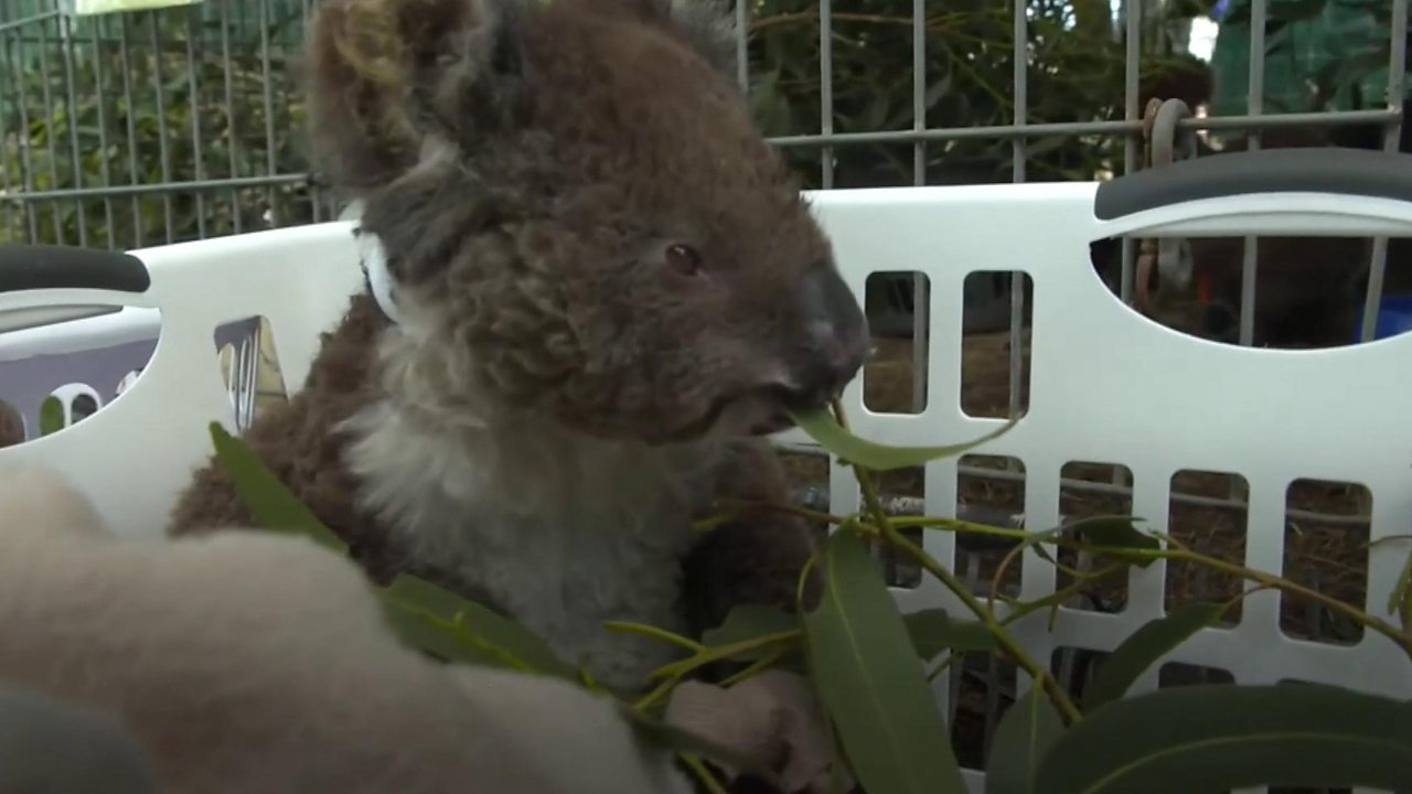 Australia bushfires: The race to save animal casualties