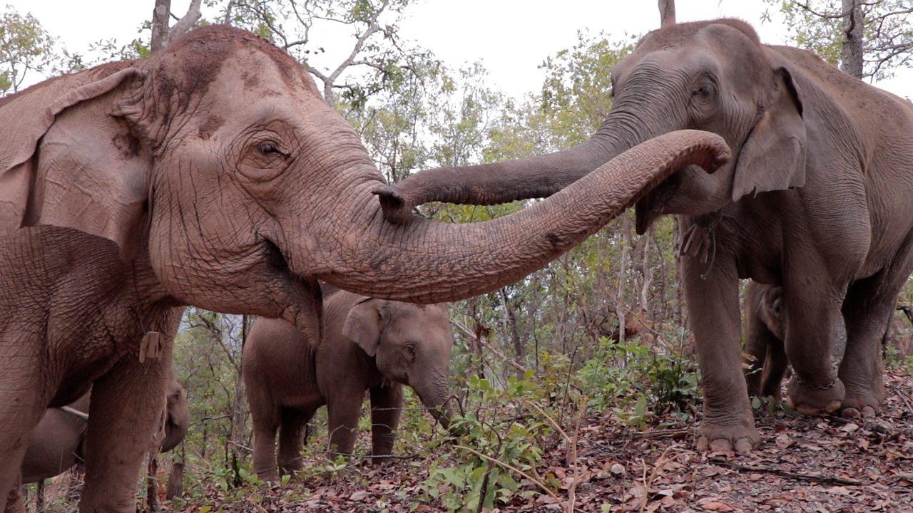 Thailand: Elephants on 'great migration' to survive coronavirus starvation