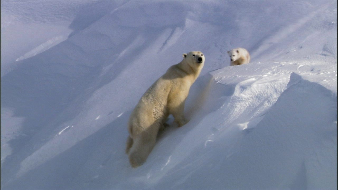 Polar bears in their habitat (no narration)