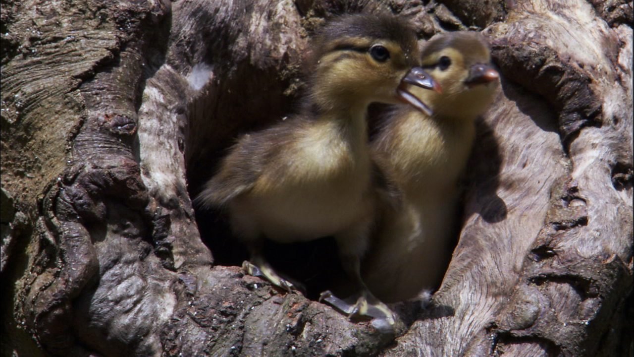 Science KS1 / KS2: Baby Mandarin ducks and their first flight (no narration)