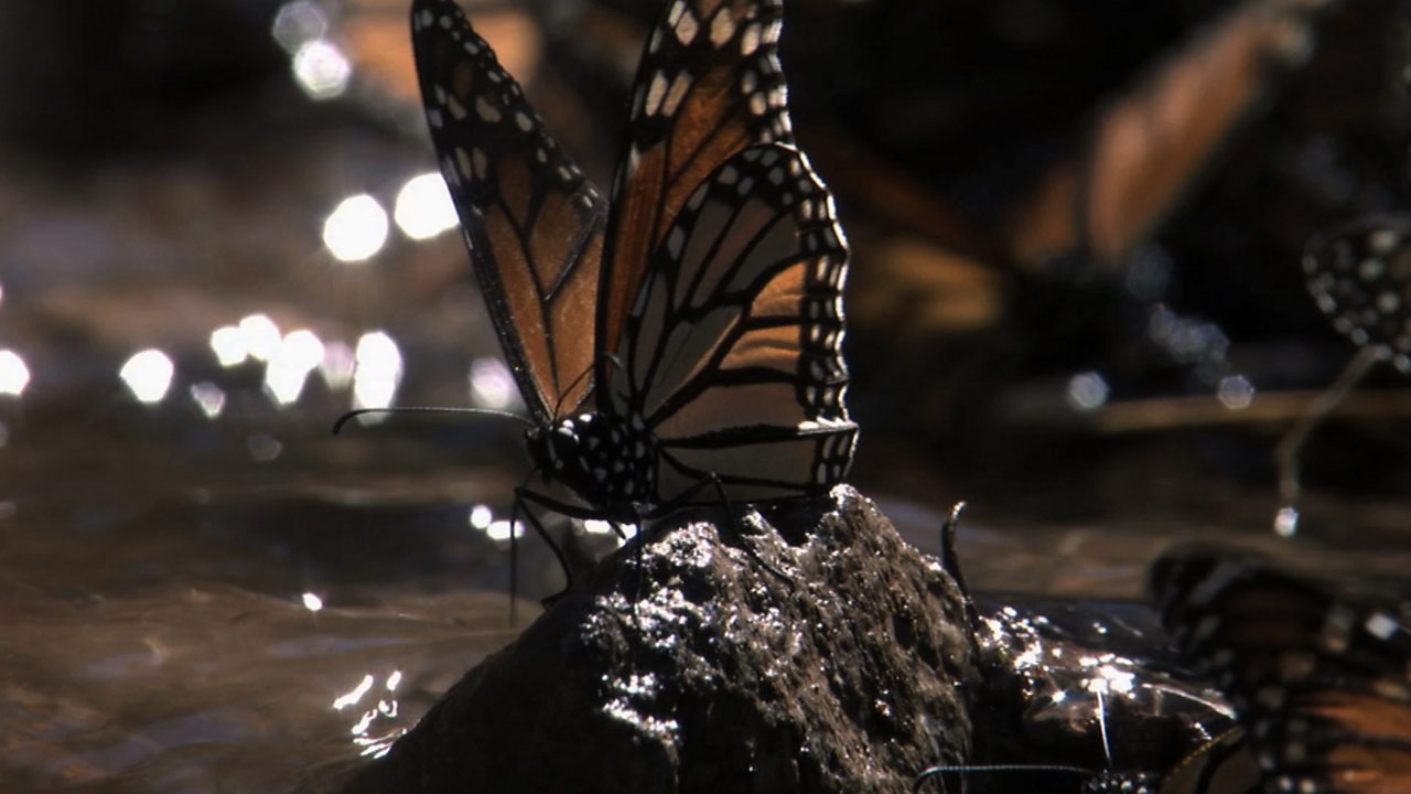 Monarch butterflies (no narration)