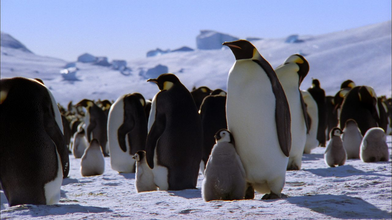 Emperor Penguins (no narration)