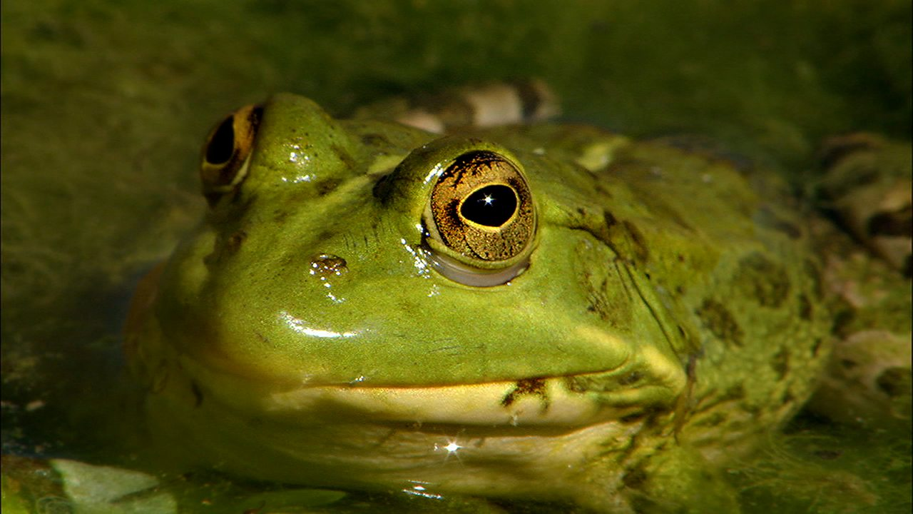 Science KS1 / KS2: Frogs in their habitat (no narration)