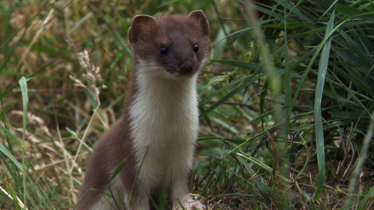 Stoats playing in the wild (no narration)
