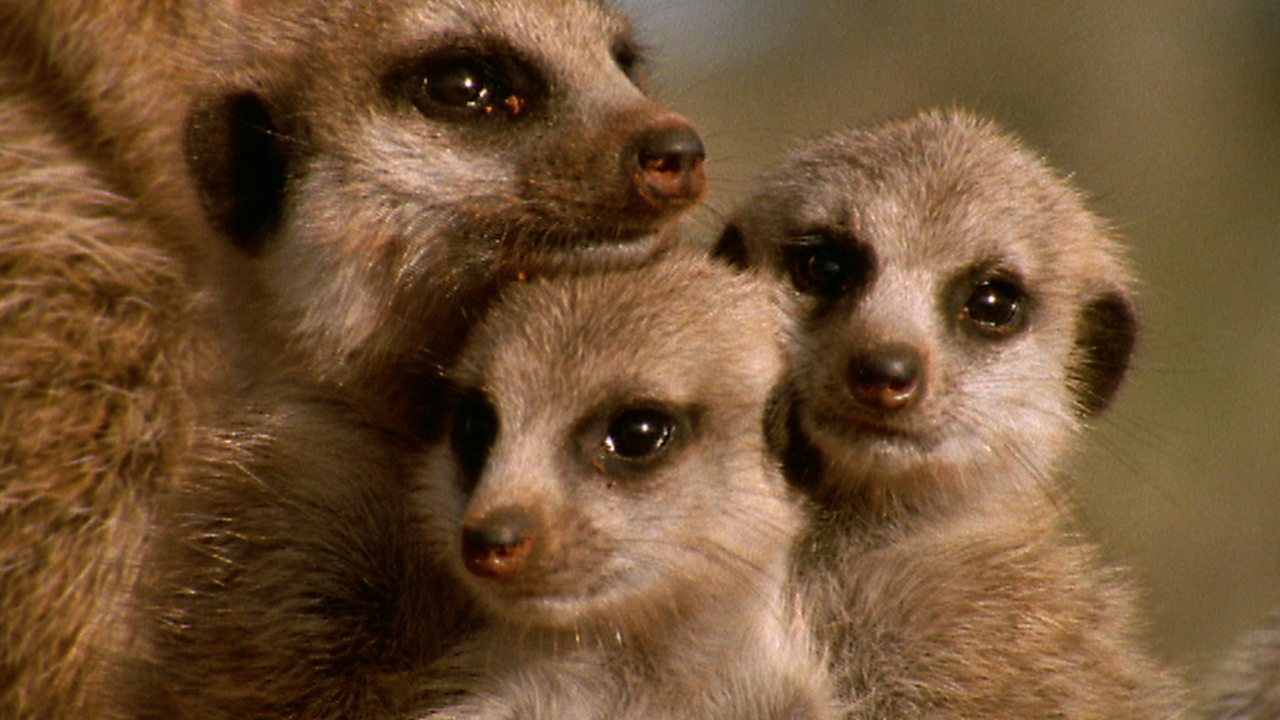 Science KS1 / KS2: How meerkats interact in the wild (no narration)