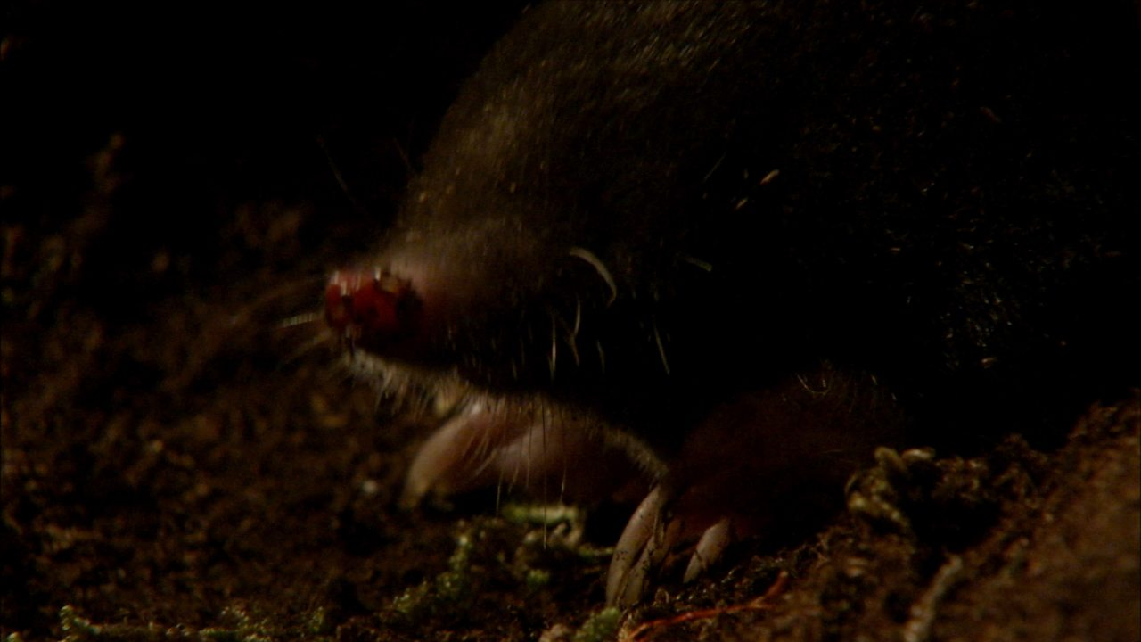 How have moles adapted to live underground?
