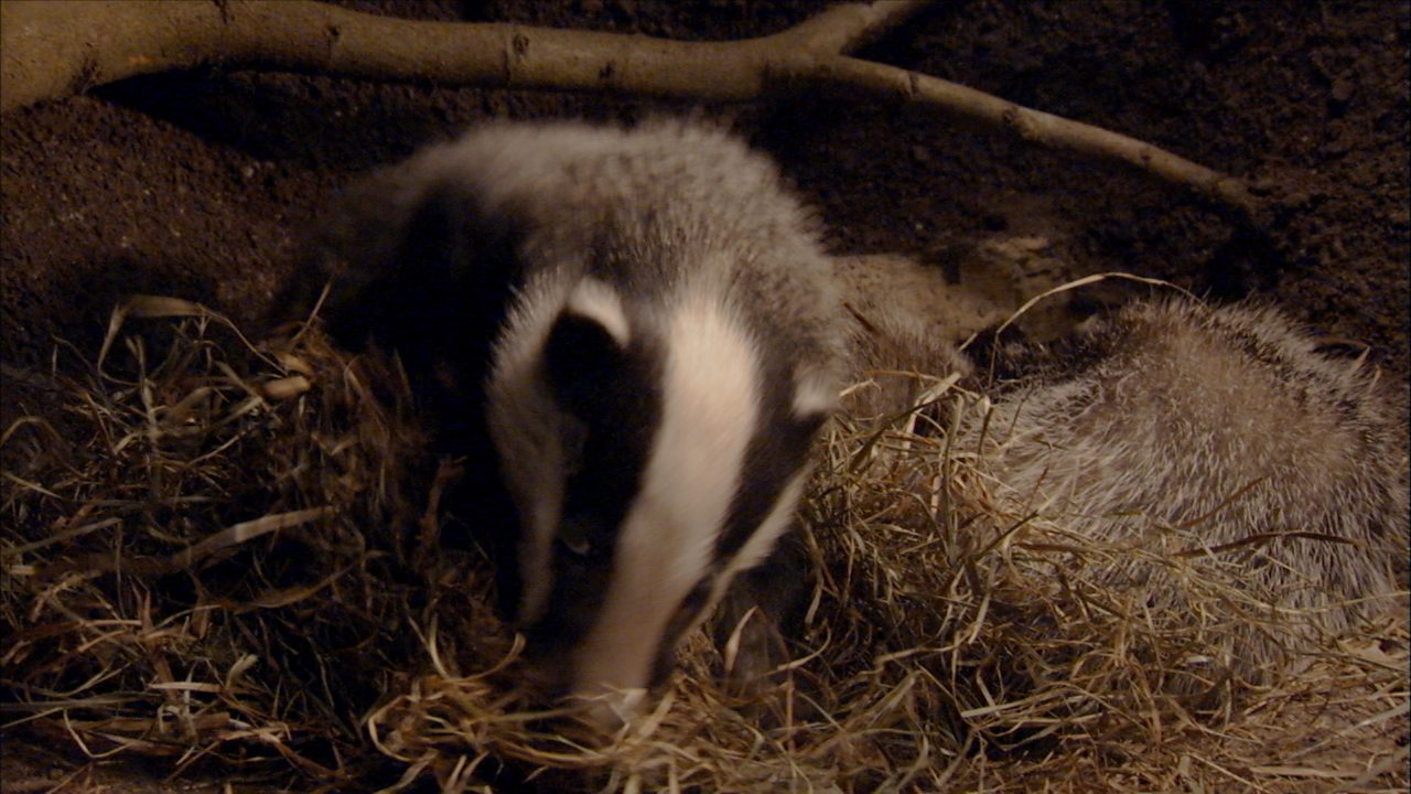 How do badgers keep clean?