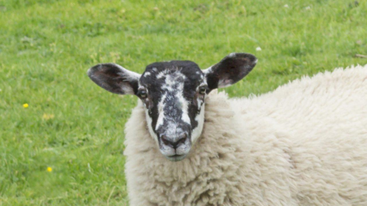 A sheep in a field