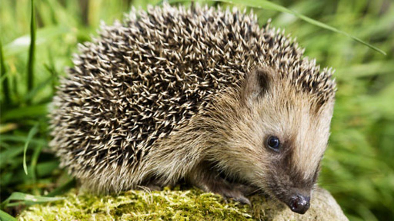 Hedgehog on a mossy stone
