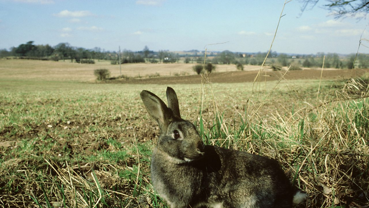 A rabbit, with an agricultural field in the background
