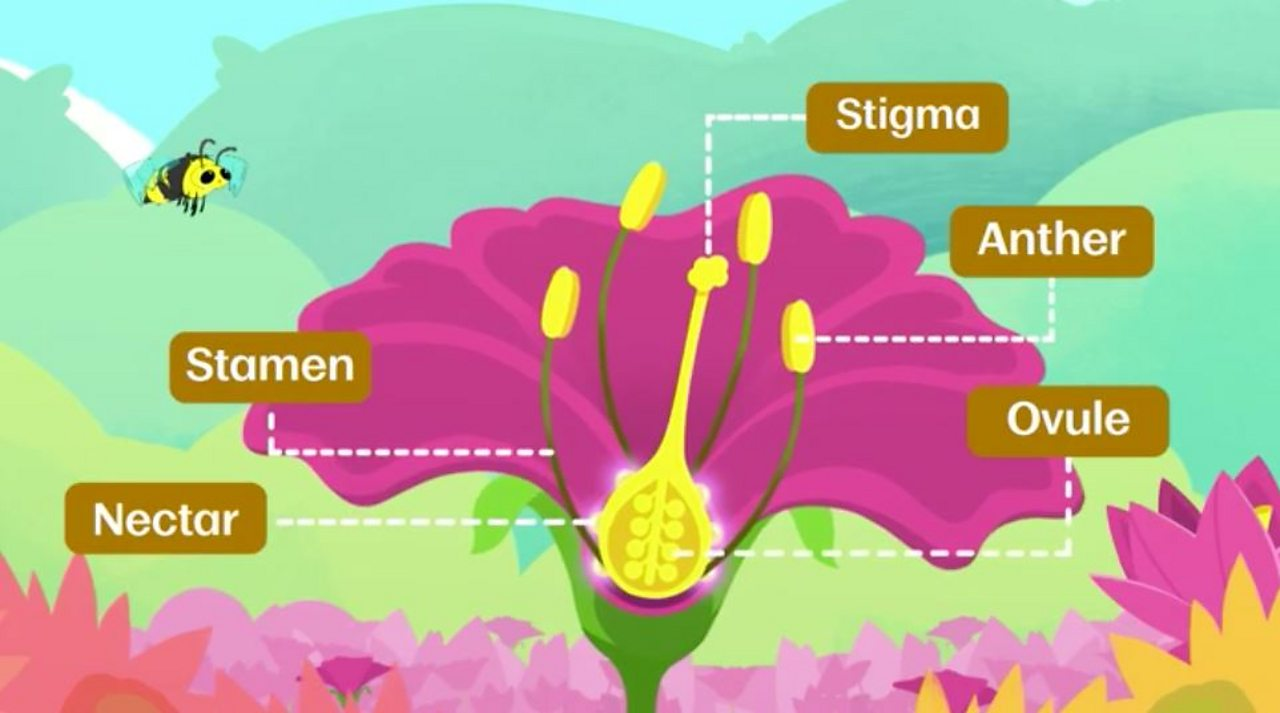 Bbc Bitesize How Do Flowering Plants Reproduce Simple Plant Cell Diagram Labeled For Kids Parts Of A