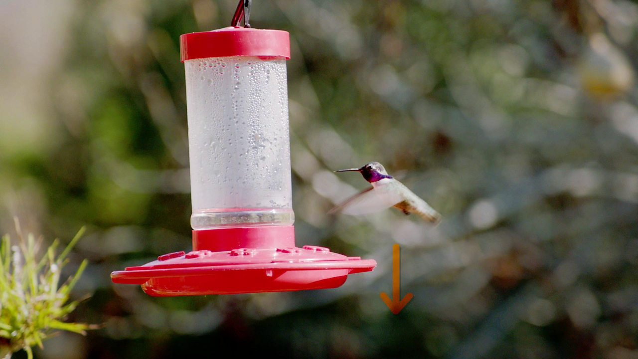 Design and Technology KS2: How do hummingbirds defy gravity to hover?