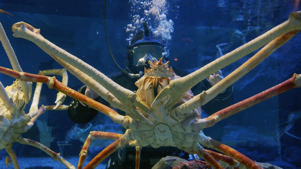 Design and Technology KS2: How are Japanese spider crabs able to survive at extreme depths?