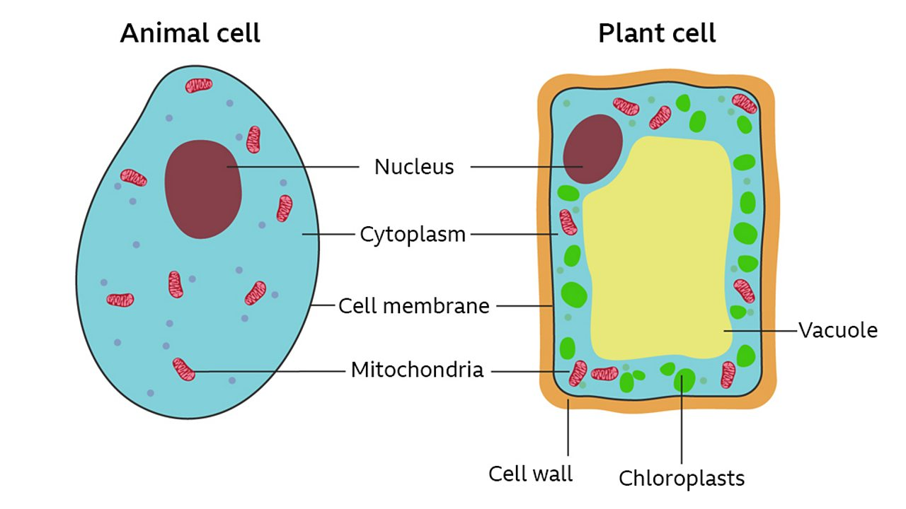 what are cells? bbc bitesizea labelled cross section of both a plant and animal cell