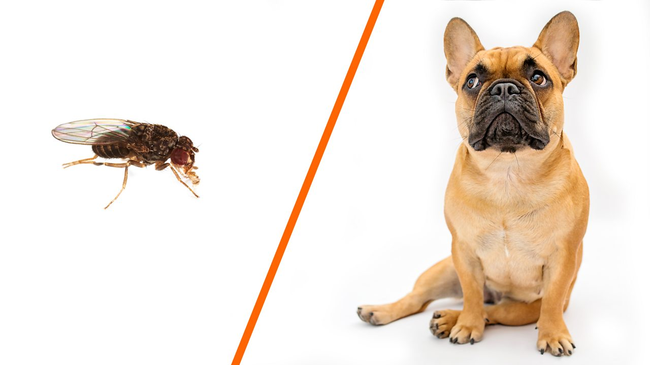 A fruit fly and a dog separated by an orange line