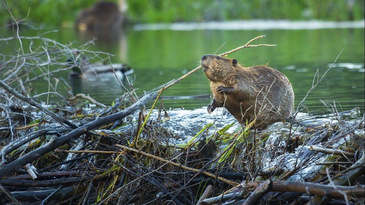A beaver building a dam