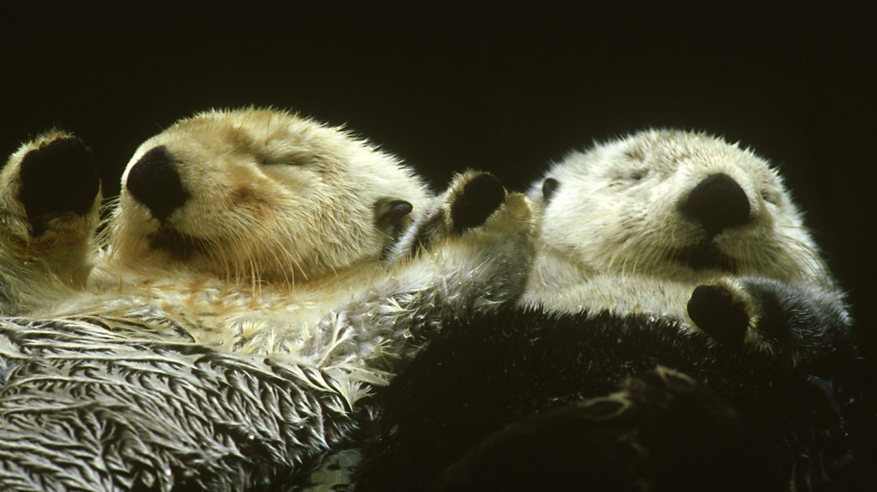 2 sea otters holding hands