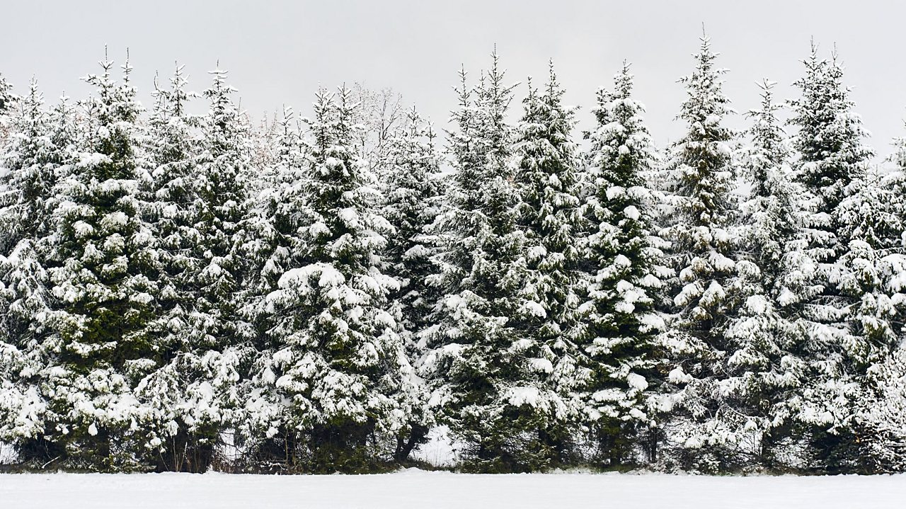 Fir trees in a line covered in snow