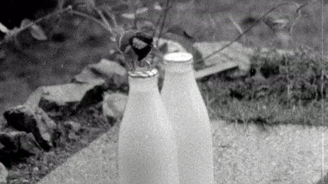 Tits stealing milk, 1958