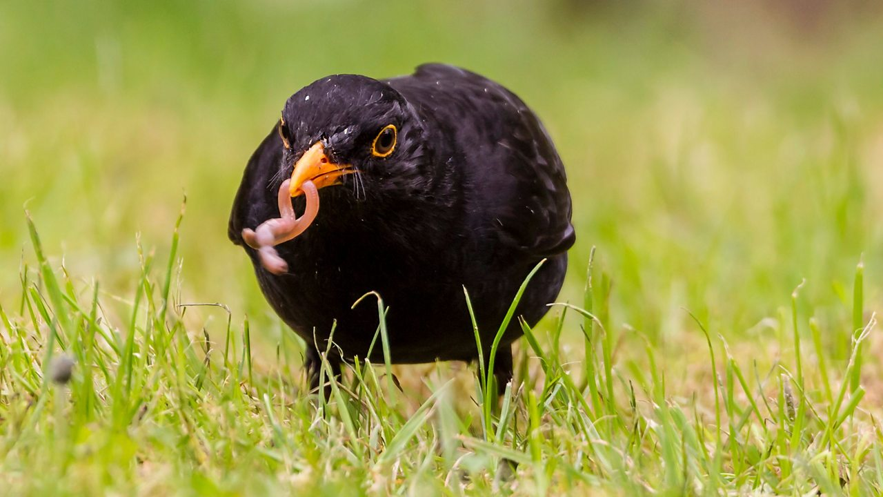 A blackbird eats a worm
