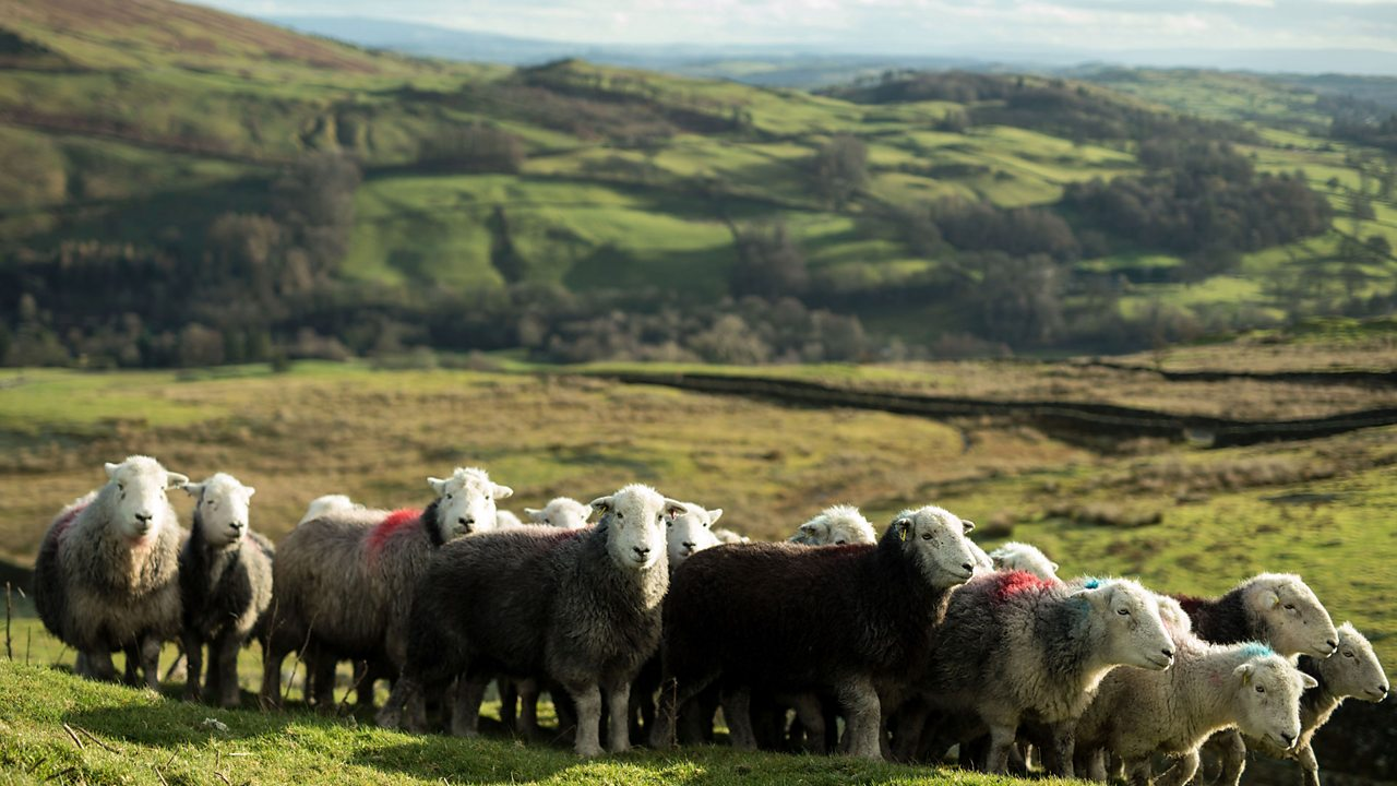 Sheep are farmed for food and to make clothes from their wool.