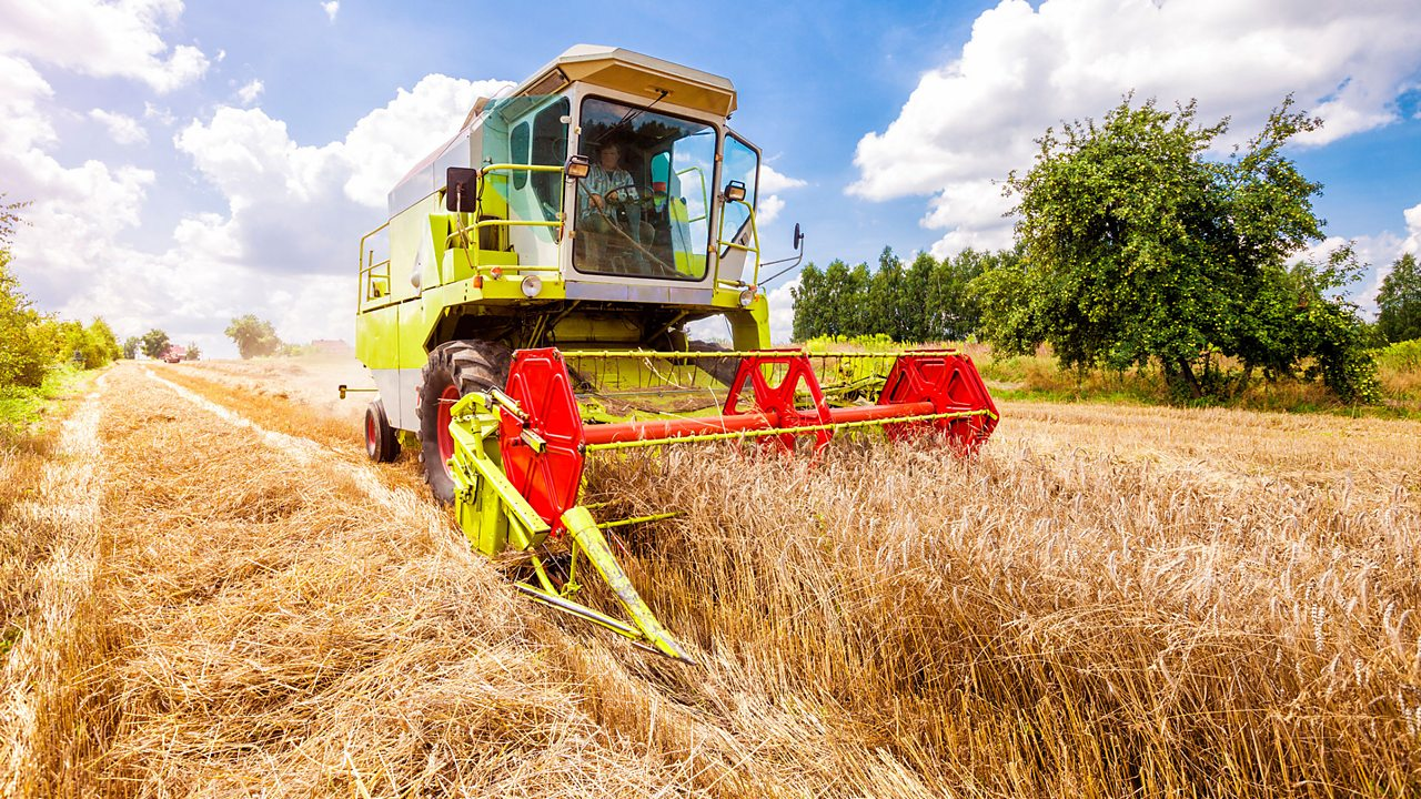 Wheat is grown in fields. We harvest wheat to make foods such as bread and pasta.