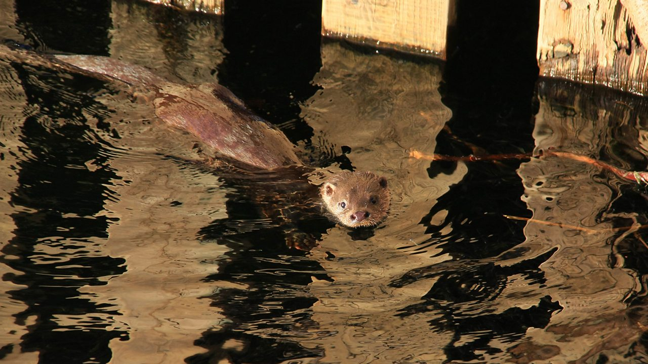 Lots of otters can be found in the Lake District.