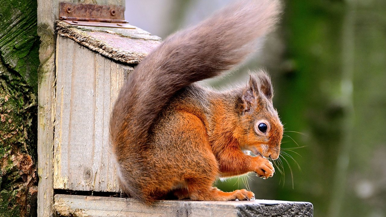Red squirrel numbers have fallen in the UK. However, many can still be found in the Lake District.