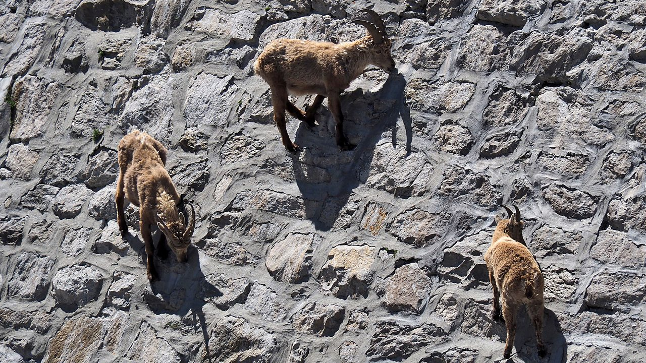 Ibex goats climb a dam in Italy to find food.