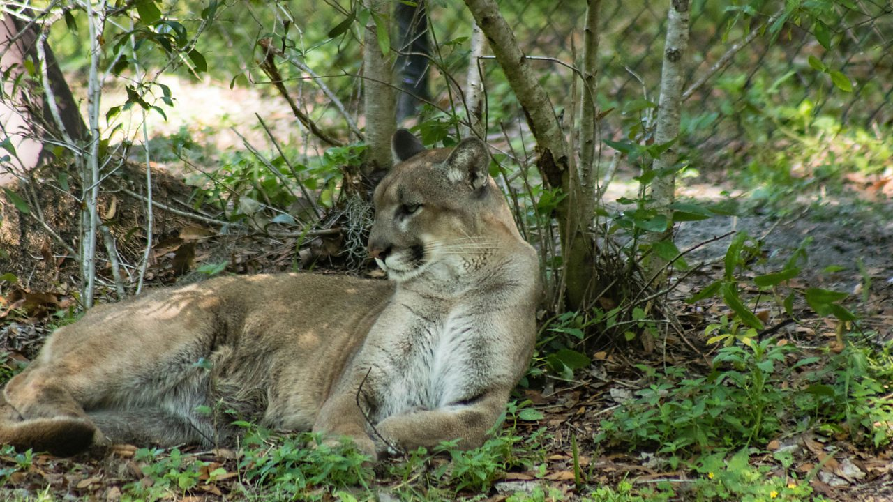 The Florida panther can also be found in the Everglades.