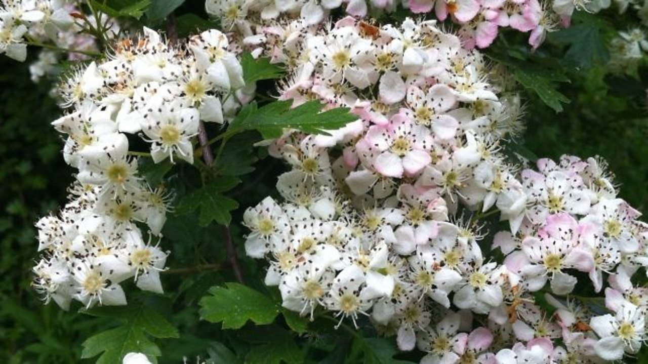 A close up of the hawthorn flower