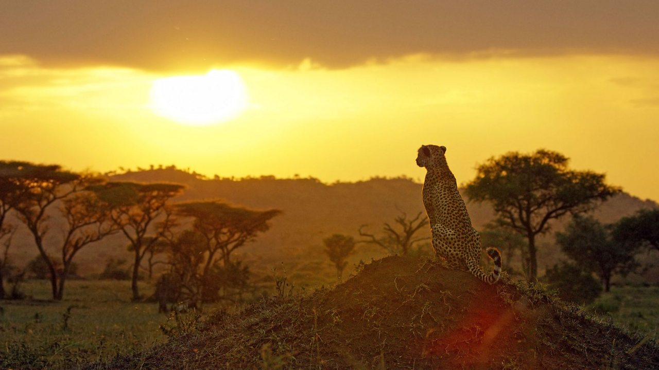 Kike the cheetah sits on a mound, looking out into the sunset.