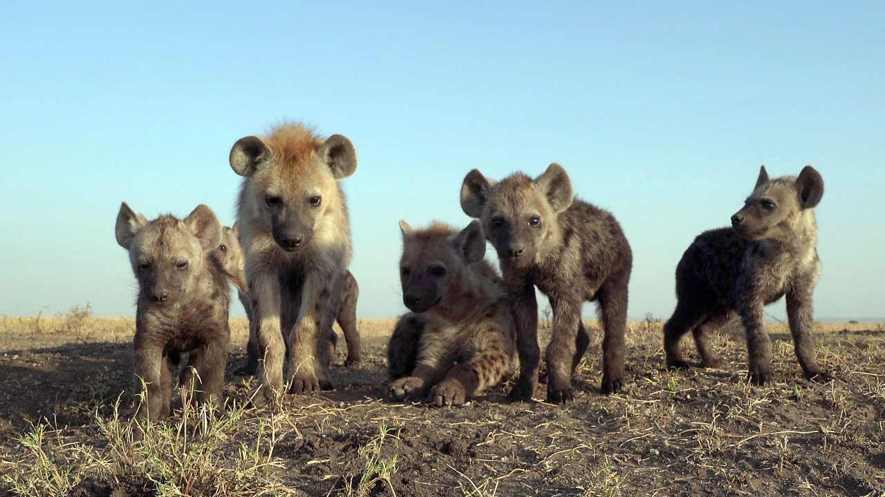A pack of young hyenas.