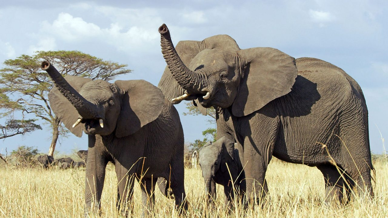 Two adult elephants, trunks raised, with a baby elephant.
