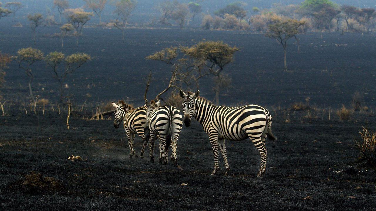 Three zebras against a burnt landscape.