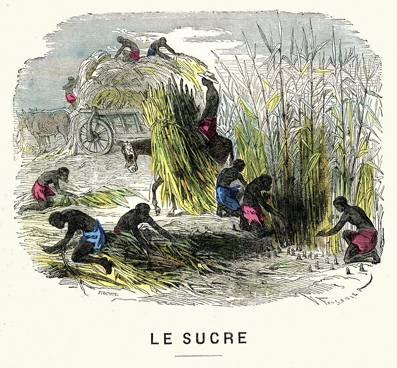 Illustration showing slaves harvesting sugar beet.