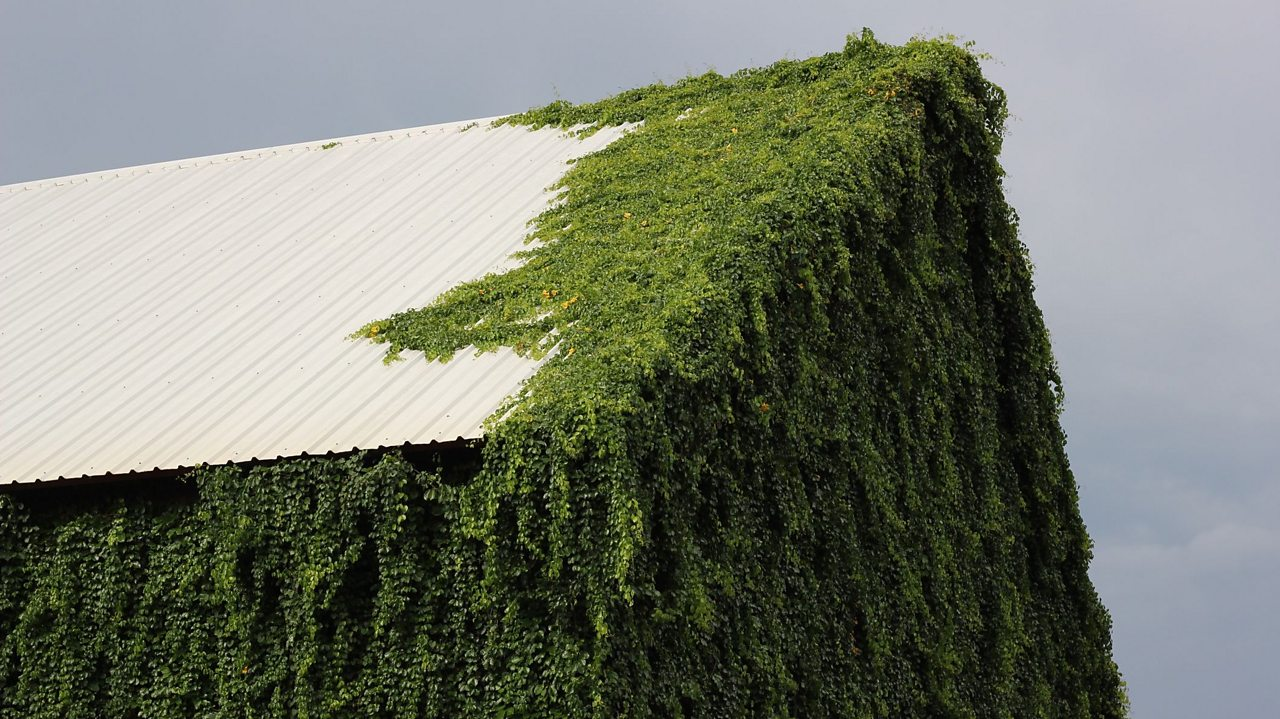 Climbing plants partially covering a white roof.