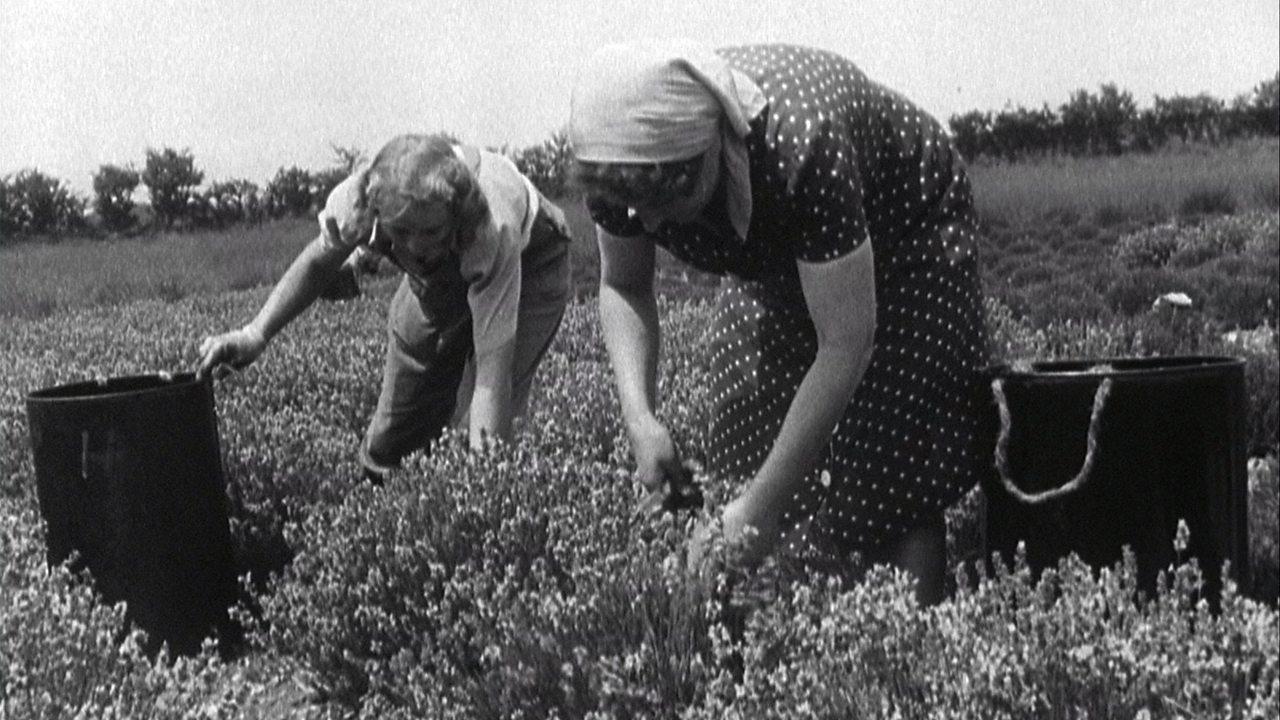 Norfolk lavender harvest, 1949