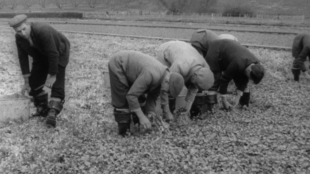 Watercress farm, 1961