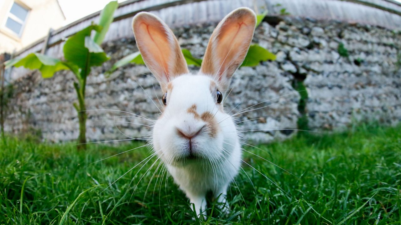 A white rabbit on grass, looking at the camera.