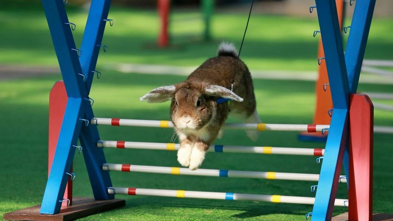 Rabit jumping over a hurdle.
