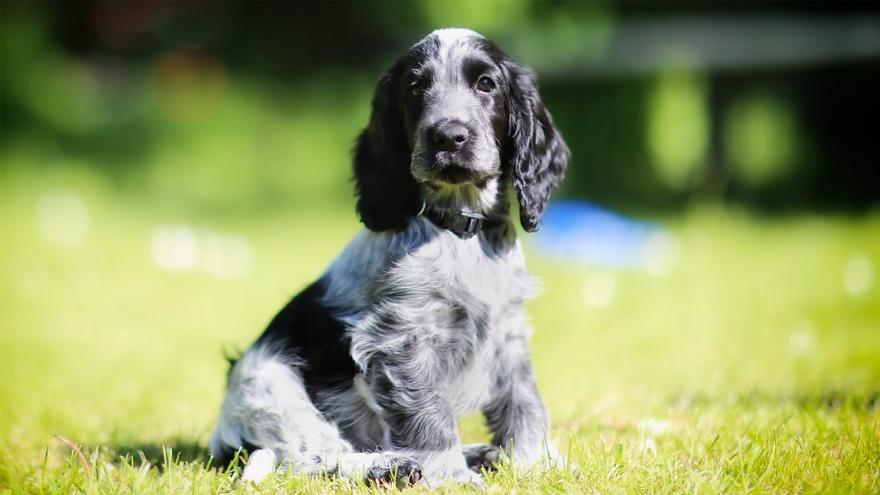 A photo of a dog. It is a young, grey cocker spaniel.