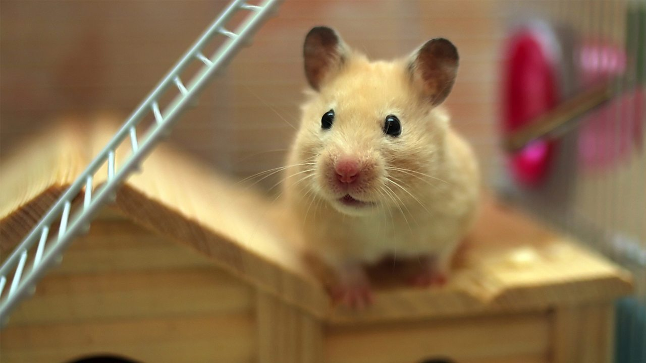 A photo of a brown hamster. It is in a cage with a ladder and a small wooden house.